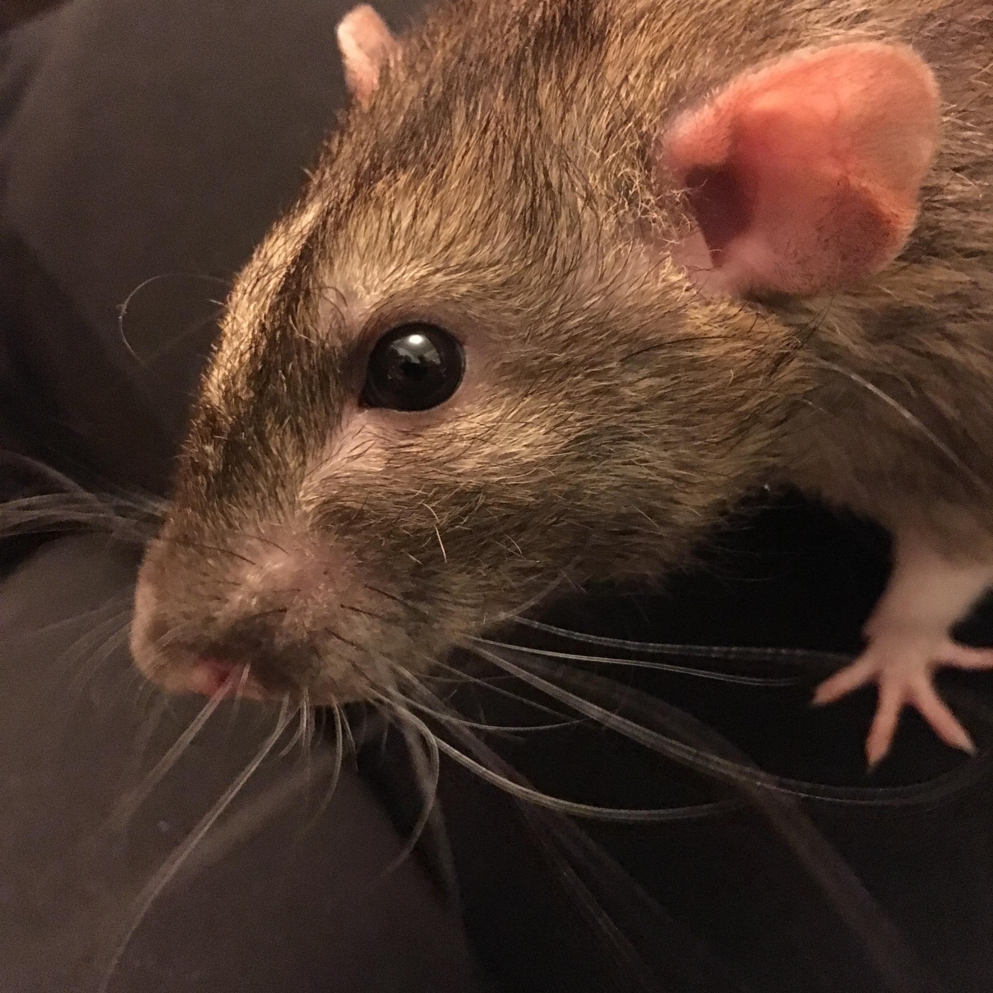 dumbo rat portrait
